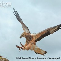 Protecting white bellied sea eagles