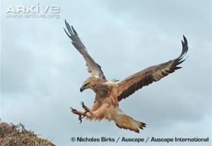 White-bellied-sea-eagle-landing